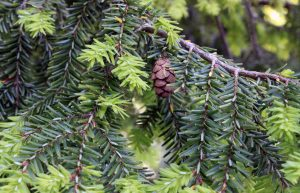 Image of Eastern hemlock