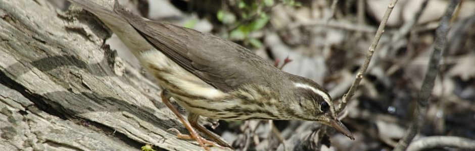 Louisiana Waterthrush on a branch