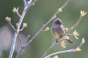 image of a Western Wood-Pewee