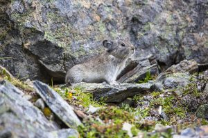 "Image of ""Collared Pika (2) - Ochotona collaris"" by National Park Service, Alaska Region is licensed under CC BY 2.0."