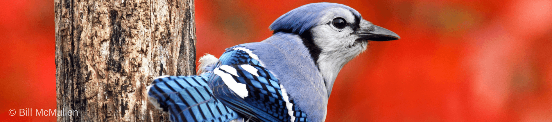 Image of Autumn Blue Jay by Bill Mcmullen