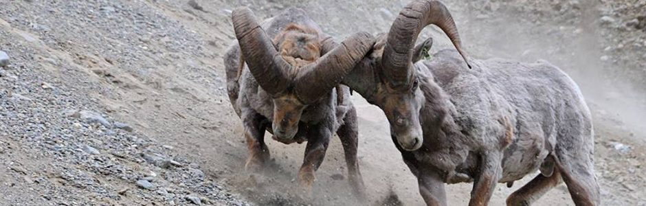 Image of a Bighorn Sheep