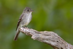 Eastern Wood Pewee perching on a log against a green background.
