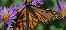 Monarch playgrounds—create a butterfly garden!