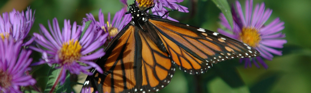 The Monarch on Fall Migration