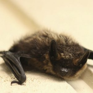 image of a Nothern Myotis
