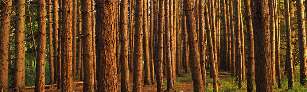 Image of a red pine forest
