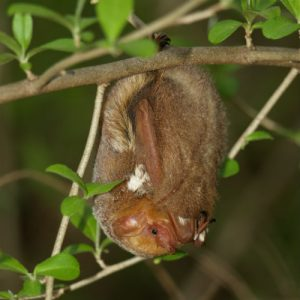 image of a Red Bat