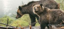 5 facts about Grizzly Bears to bear in mind