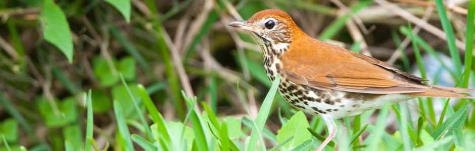 Image of Wood Thrush