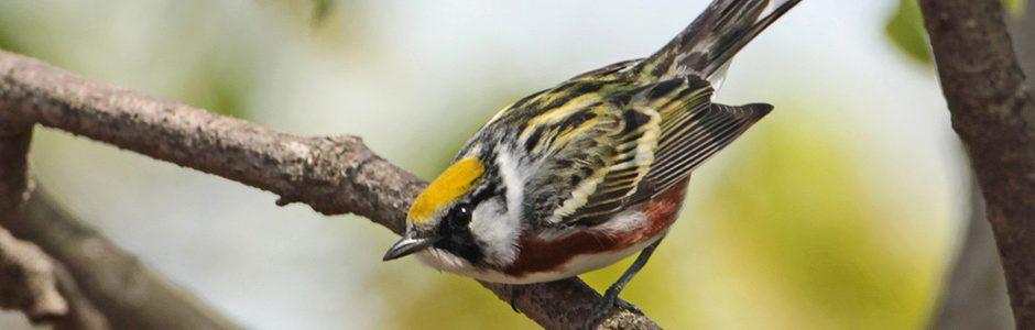 Image of a Chestnut-sided Warbler