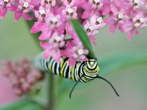image of Monarch caterpillar on milkweed
