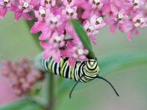 image of Monarch caterpillar on milkweed