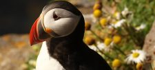 Discover the Atlantic Puffin