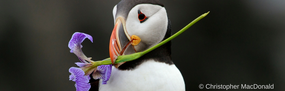 calendar photo: Puffin with flower by Christopher MacDonald