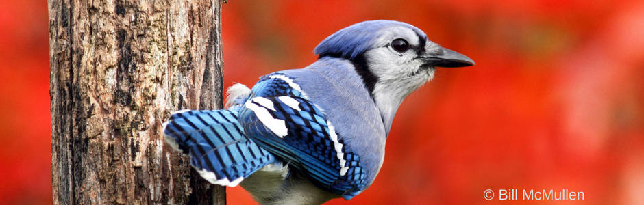 calendar photo: Autumn Blue Jay by Bill McMullen