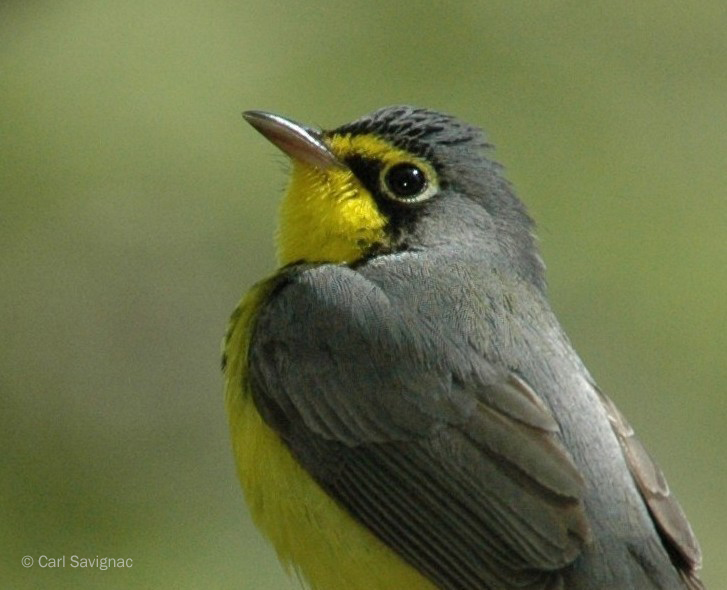 Image of a Canada Warbler by Carl Savignac