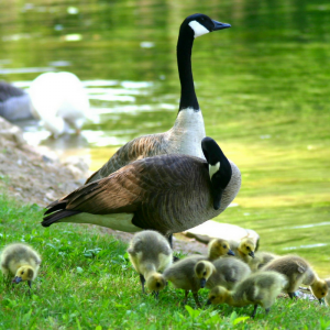 image of a Canada Goose