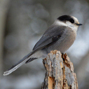 image of a Gray Jay