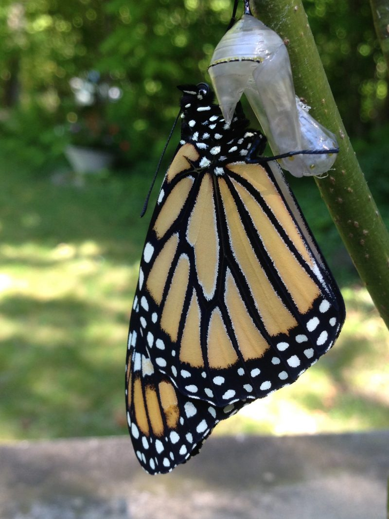nature canada u2013 a passion for monarch butterflies