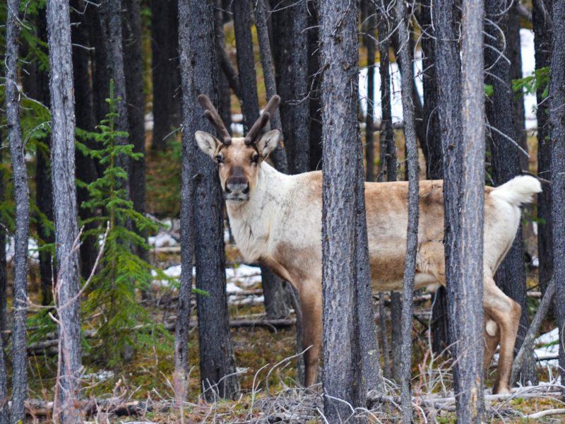 Image of Caribou in Yukon