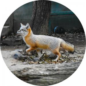 image of a Grey Fox