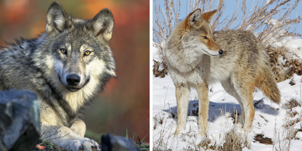 images of a Grey Wolf and a Coyote