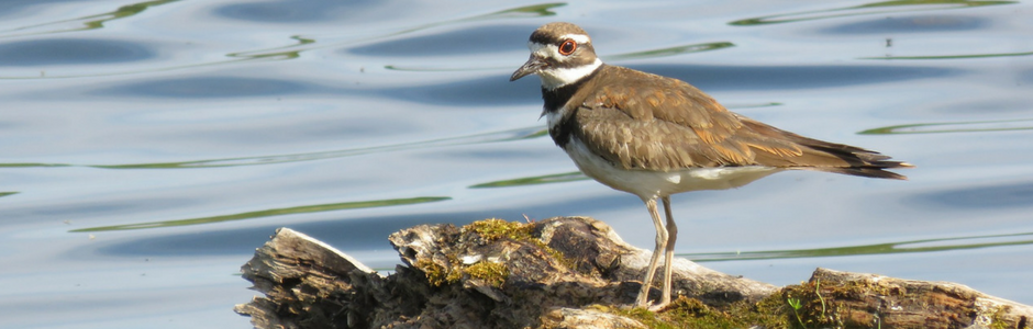 image of a Killdeer
