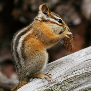 image of a Least Chipmunk