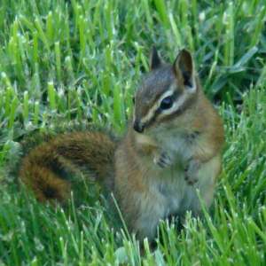 image of a Red-tailed Chipmunk