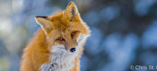 Both cunning and stunning: Discover Canadian foxes!