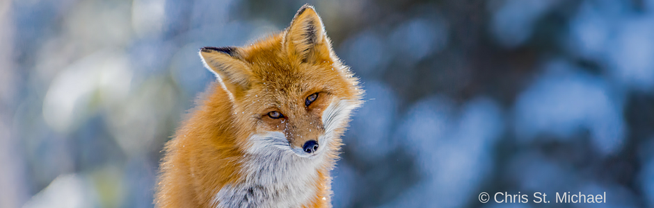calendar photo: Red Fox by Chris St. Michael