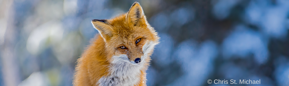 Vulpes, Vixen and … Vulpix? Foxes in folklore and popular culture