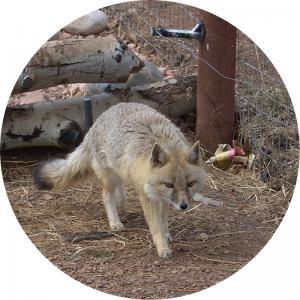 image of a Swift Fox