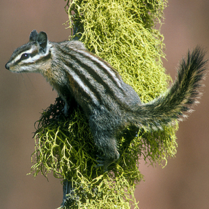 image of a Yellow-pine Chipmunk