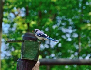 image of a Blue Jay