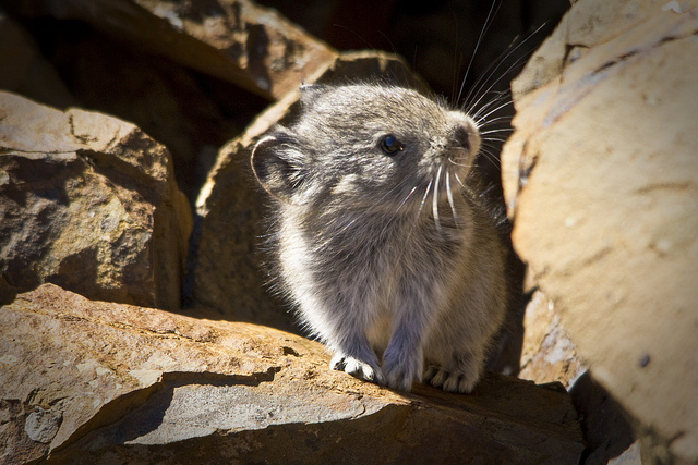 Image of a Collared Pika