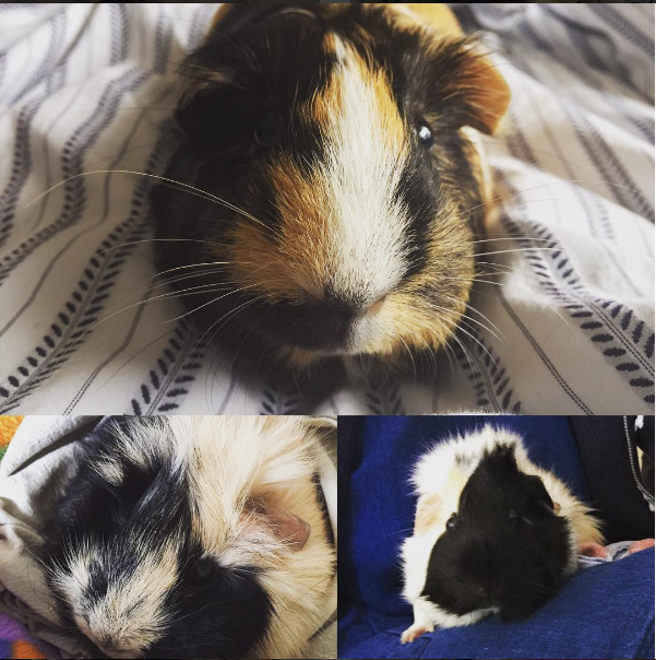 Image of Guinea pigs