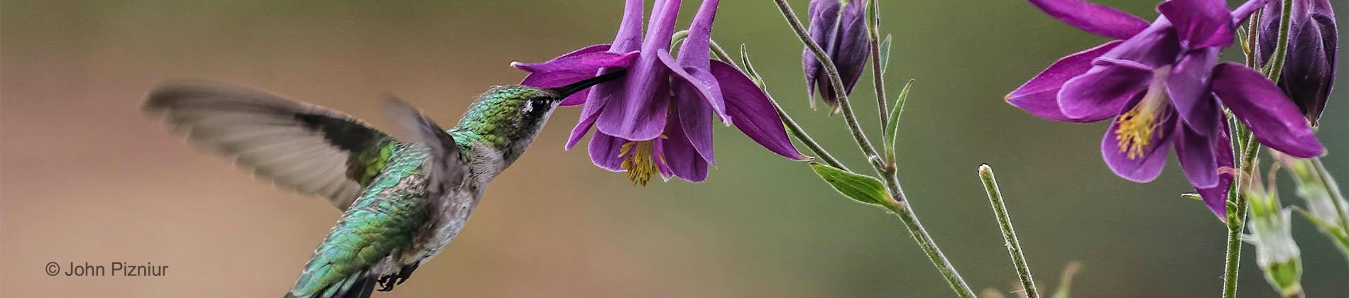 Hummingbird by John Pizniur