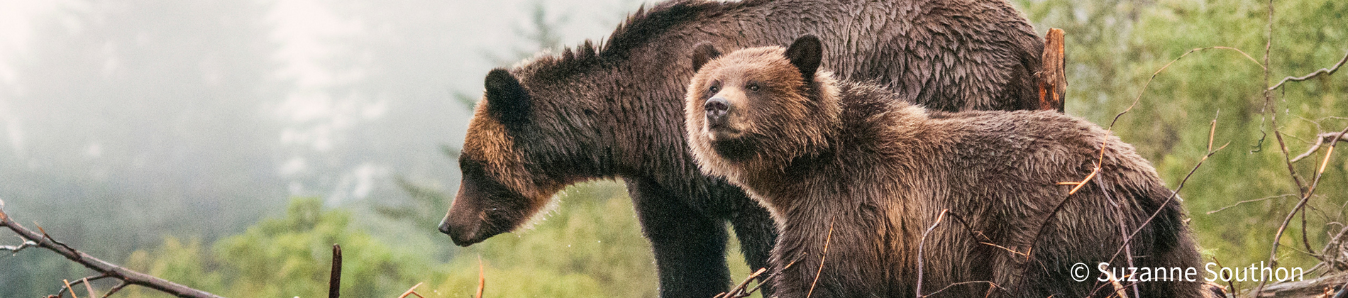 Image of Grizzly Bears by Suzanne Southon