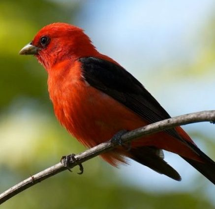 Image of a Scarlet Tanager