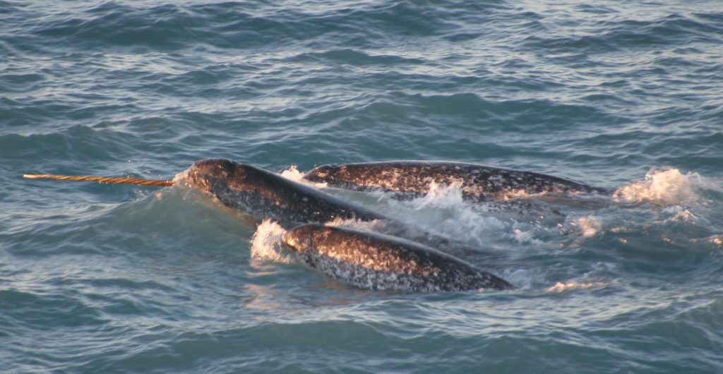 Pod of narwhals, northern Canada, August 2005. Image courtesy of Kristin Laidre.