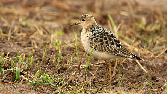 """Buff-breasted Sandpiper"" by Tim Lenz is licensed under CC BY 2.0"