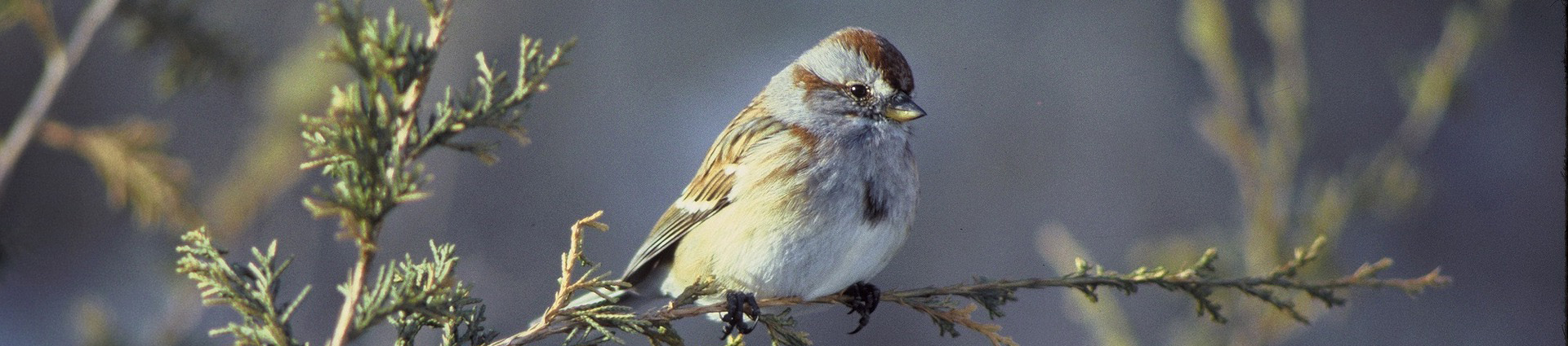 Image of american tree sparrow