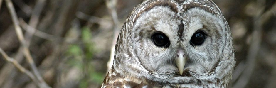 Image of a Barred Owl