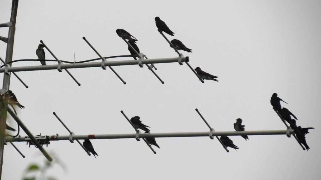 Image of Purple Martins on the MOTUS Tower