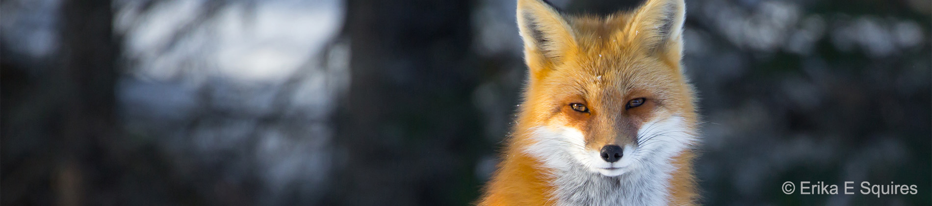 Image of a fox by Erika E Squires