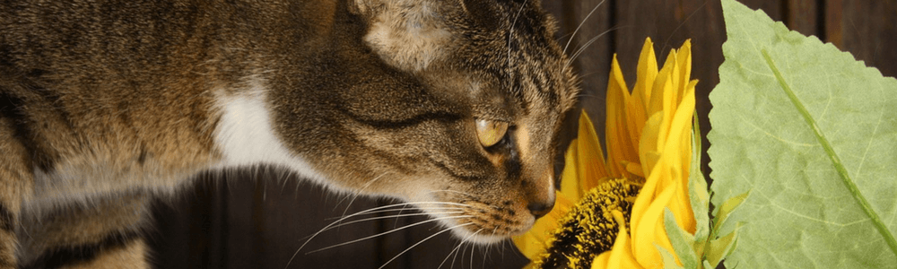 cat sniffing sunflower