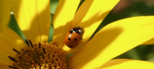 The Lovely Ladybug: Natural Pest Controllers for Your Garden