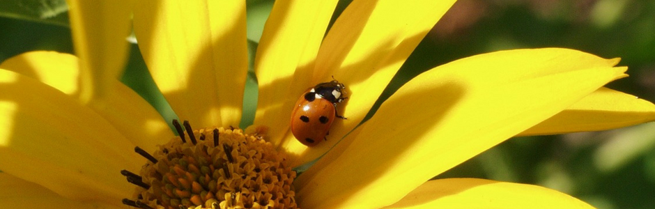 Image of ladybird on sunflower